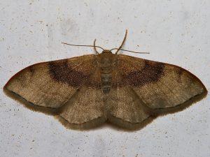 fluture de noapte