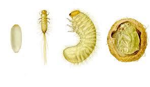 larva gandacul paianjen