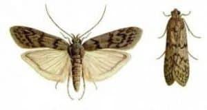 molia fainii